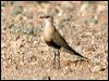 Click here to enter gallery and see photos of: Australian and Oriental Pratincole, Cream-coloured Courser