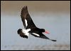 Click here to enter gallery and see photos of: South Island (Pied), Eurasian, African, Black, American, Pied and Sooty Oystercatcher