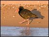 Click here to enter Sooty Oystercatcher photo gallery