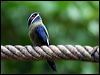 Click here to enter gallery and see photos of: Grey-rumped and Whiskered Treeswift
