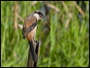 Click here to enter Long-tailed Shrike photo gallery