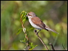 Click here to enter Red-backed Shrike photo gallery