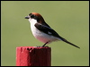 Click here to enter gallery and see photos of: Tiger, Red-backed, Brown, Bay-backed, Long-tailed, Grey-backed, Loggerhead, Great Grey/Northern and Woodchat Shrikes