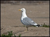 Click here to enter Herring Gull photo gallery