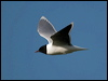 Click here to enter Little Gull photo gallery
