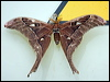 Click here to enter Hercules Moth photo gallery