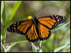 Click here to enter Wanderer Butterfly photo gallery