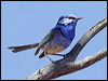 Click here to enter gallery and see photos of: Red-backed, White-winged, Superb, Splendid, Variegated, Lovely and Purple-crowned Fairywrens; Grey, Carpentarian, Kalkadoon and Eyrean Grasswrens