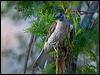Click here to enter Little Friarbird photo gallery