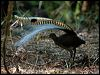 Click here to enter gallery and see photos of: Superb Lyrebird