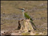 Click here to enter Arabian Green Bee-eater photo gallery