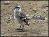Click here to enter gallery and see photos of: Black-capped Donacobius; Northern, Tropical and Long-tailed Mockingbirds.