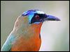 Click here to enter gallery and see photos of:  Blue-crowned Motmot