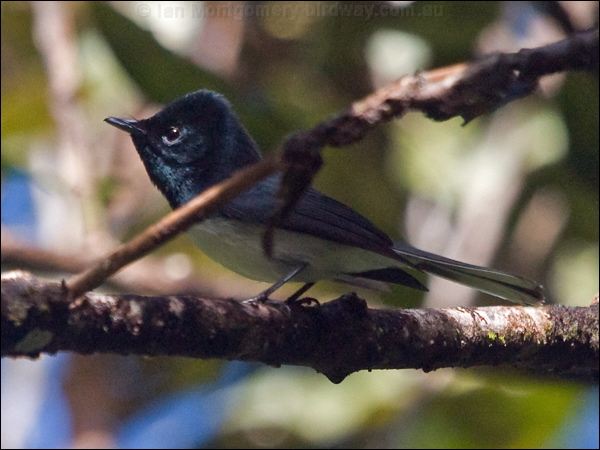 Melanesian Flycatcher photo image 2 of 3 by Ian Montgomery at birdway ...