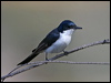 Click here to enter gallery and see photos of: Southern Shrikebill, Black-winged, Black-faced, White-eared, Frilled and Pied Monarch; Magpie-Lark; Leaden, Melanesian, Satin, Broad-billed, Restless and Shining Flycatchers