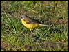 Click here to enter Yellow Wagtail photo gallery