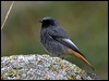 Click here to enter Black Redstart photo gallery