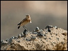 Click here to enter Isabelline Wheatear photo gallery