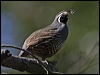 Click here to enter gallery and see photos of California Quail, Spotted Wood-Quail