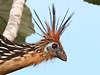 Click here to enter gallery and see photos of: Hoatzin