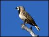 Click here to enter gallery and see photos of: Crested Bellbird