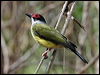 Click here to enter gallery and see photos of: Green Figbird; Olive-backed and Green (Yellow) Orioles
