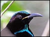Click here to enter gallery and see photos of: Trumpet Manucode, Paradise, Victoria's and Magnificent Riflebird.