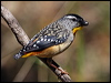 Click here to enter gallery and see photos of: Spotted and Striated Pardalotes