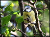 Click here to enter gallery and see photos of: Black-capped and Mountain Chickadee; Coal, Great, Blue and Long-tailed Tit; Oak Titmouse; Bushtit.