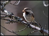 Click here to enter Siberian Tit photo gallery