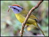 Click here to enter gallery and see photos of: Tropical Parula; Tennessee, Flame-throated, Black-throated Green, Black-cheeked, Black-and-white, Yellow, Yellow-rumped, Townsend's, MacGillivray's, Wilson's, Russet-crowned and Golden-crowned Warblers.