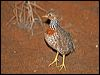 Click here to enter gallery and see photos of: Plains-wanderer