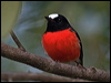 Click here to enter gallery and see photos of: White-browed, Buff-sided, Grey-headed, White-faced, Pale-yellow, Eastern Yellow, Mangrove, Hooded, Dusky, Pacific, Scarlet, Red-capped, Pink and Flame Robins; Jacky Winter; Lemon-bellied and Yellow-legged Flycatchers; Northern Scrub-Robin; Tomtit.