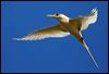 Click here to enter gallery and see photos of: Red-billed, Red-tailed, White-tailed Tropicbird/Bosunbird