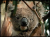 Click here to enter gallery and see photos of: Koala