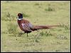 Click here to enter gallery and see photos of Common Pheasant; Sooty Grouse; Chukar Partridge; Grey, Cape Francolin; Stubble, Brown Quail; Crested Fireback; Great Argus; Green Peafowl; Red Junglefowl