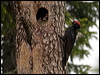 Click here to enter Black Woodpecker photo gallery