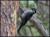 Click here to enter Eurasian Three-toed Woodpecker photo gallery