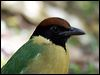 Click here to enter gallery and see photos of: Red-bellied, Mangrove, Rainbow and Noisy Pittas