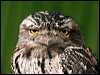 Click here to enter gallery and see photos of: Tawny and Papuan Frogmouth
