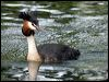 Click here to enter gallery and see photos of: Little, Australasian, Pied-billed, Hoary-headed, Great Crested, Horned, Black-necked/Eared, Western and Clark's Grebes
