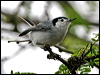 Click here to enter gallery and see photos of: Long-billed Gnatwren, Tropical Gnatcatcher.