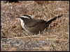 Click here to enter gallery and see photos of: Grey-crowned, Halls, White-browed and Chestnut-crowned Babblers