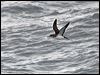 Click here to enter Manx Shearwater photo gallery