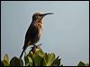 Click here to enter gallery and see photos of: Cape Sugarbird.