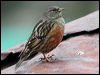 Click here to enter gallery and see photos of: Alpine, Rufous-streaked/Altai and Hedge Accentors/Dunnock.