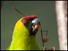 Click here to enter Horned Parakeet photo gallery