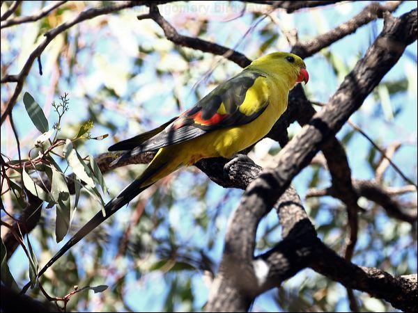 http://www.birdway.com.au/psittacidae/regent_parrot/source/image/regent_parrot_88018.jpg