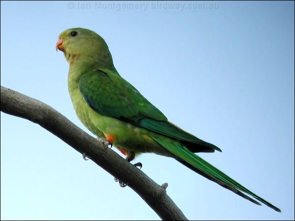 superb parrot photo image 3 of 8 by ian montgomery at