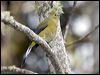 Click here to enter gallery and see photos of: Long-tailed Silky-flycatcher.